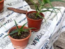Pui de planta Aloe.