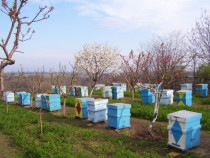 Familii de albine bine intretinute