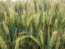 Samante cereale (grau, orz). Rubisko si Calipso C1, C2.