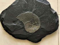 Unicat Aplica Antrasit Fosila Amonit