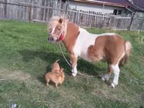 Ponei  frumos Echitație cu ponei