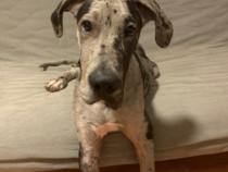 Dog German/ Great Dane, Mascul, 5 Luni