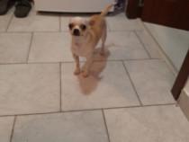 Chihuahua la vârsta de 2 ani