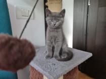 #British pisicuț/pisicuță