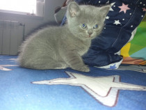 Pisoi superb British Shorthair