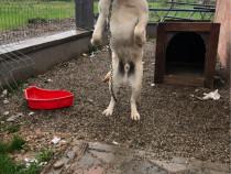Cățel Labrador 8 luni