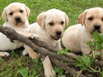 Puiuti Labrador