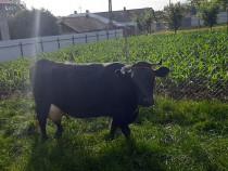 Vacă bună de lapte