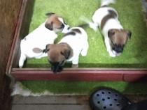 Pui jack russell/rusel/russel/terrier