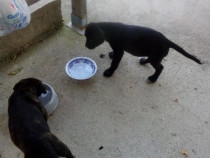 Mascul cane corso varsta 1luna jumate