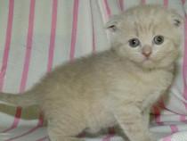 Pisicuța Scotish - scottish fold