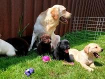 Labrador Retriever,toate culorile,Canisa!!!