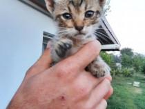 Pui de pisica pt adoptie