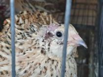Ouă de prepelițe