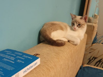 Pisica Ragdoll 5 luni adoptie