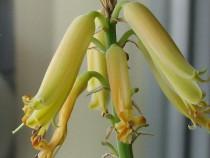 Plante aloe vera (Aloe Barbadensis )