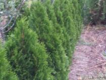 Varietăți de Thuja occidentalis și Juniperus sp.