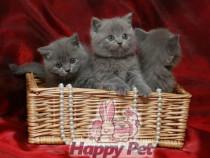 Pisici British Shorthair Bucuresti Brasov Iasi Oradea Ct Tm