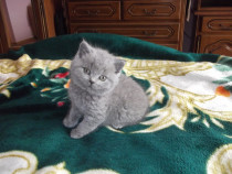 Pisicute british shorthair rasa pura