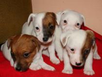 Catei Jack russel/russell terrier!!