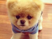 Pomeranian Boo, gratuitati, detalii in anunt
