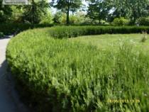 Thuja orientalis tuia - Biota pentru gard viu