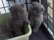 Pisici Scottish Fold, rasa cu urechiusele pliate