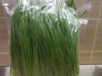 Iarba de grâu ecologica, proaspat recoltata