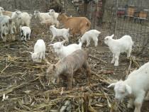80 de capre, calitate-pret foarte convenabil!