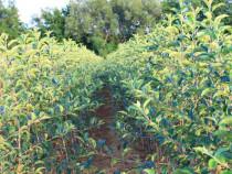 Pomi fructiferi și tuya Chiparos L
