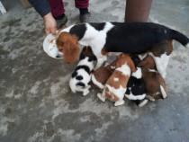 Căţei Beagle