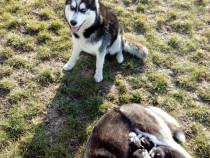 Catei husky siberian