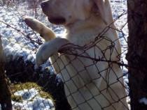 Labrador Monta