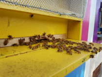 Miere de albine poliflora, floarea soarelui si rapita