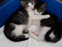 Pisicute - oferite spre adoptie