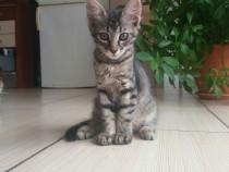 Spre adoptie pisicuta-aproape 3 luni