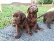 Labrador retriever/retriver pe ciocolatiu!!
