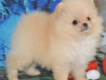 Catei Pomeranian