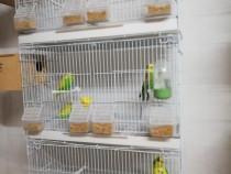 Papagali peruși