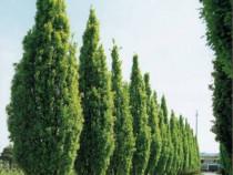 Stejar columnar ( Quercus robur Fastigiana)