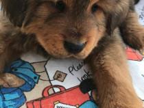 Pui Mastiff Tibetan