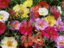 250 Seminte Flori de piatra - Portulaca grandiflora