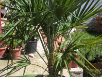 Palmieri Phoenix, Cycas, Humilis, Yuca, Lamai, Portocal
