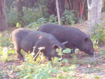 Porci soldani vietnamezi