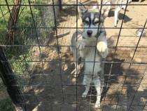 Pui husky 3 luni