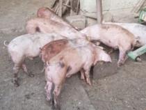 Porci Grasuni