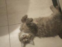 Pui de pisica main coon