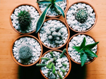 Cactus si Succulente in ghiveci
