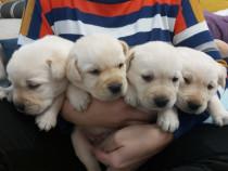Puiuti Labrador Retriever Auriu, rasa pura 100 %