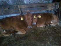 Vitei si vitele